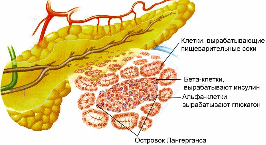 Какой человеческий орган вырабатывает инсулин