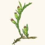 Алтайские травы при панкреатите