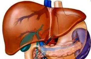 Как расположены печень и поджелудочная железа