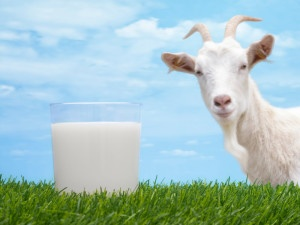 Как пить козье молоко при панкреатите