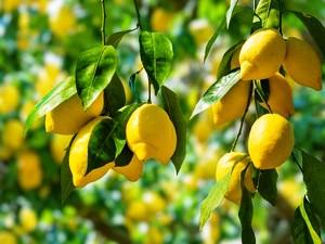лимон - популярный фрукт